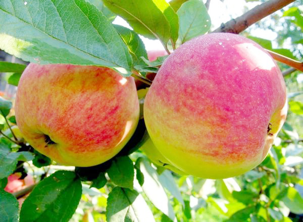 яблоки сорта осенние фото